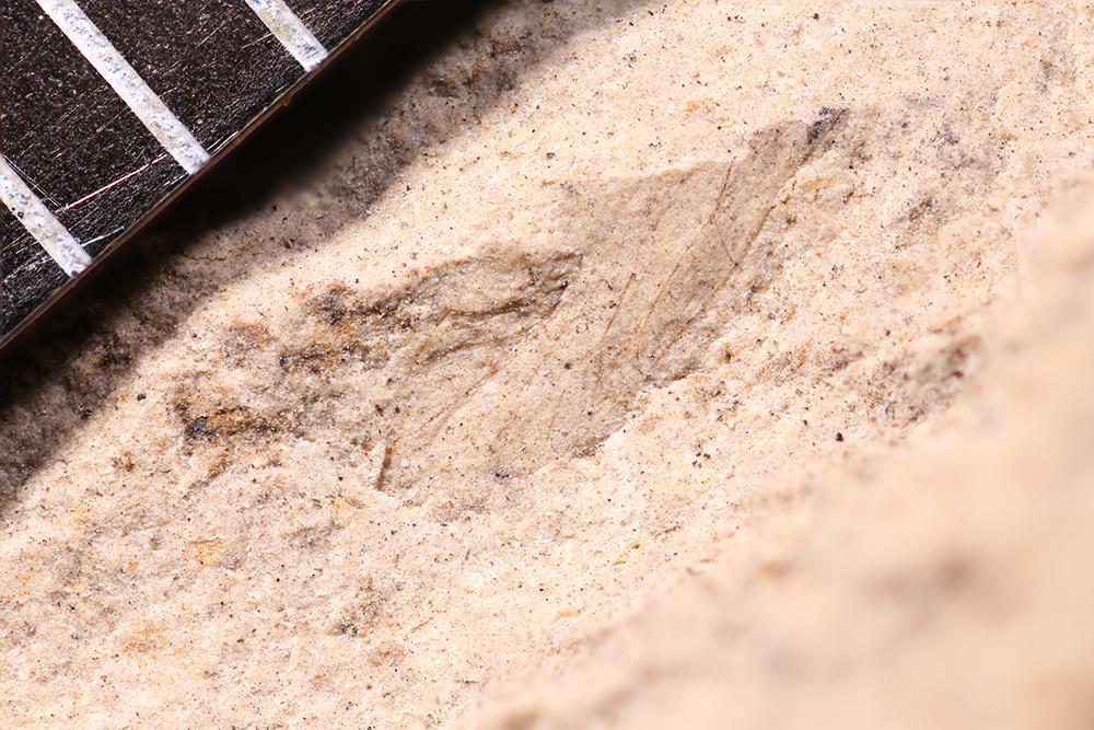 http://mczbase.mcz.harvard.edu/specimen_images/entomology/paleo/large/PALE-12271_Dichentomum_tinctum.jpg