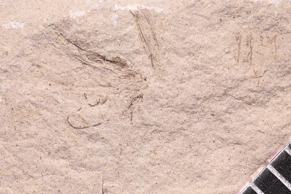 http://mczbase.mcz.harvard.edu/specimen_images/entomology/paleo/large/PALE-12280_Dichentomum_tinctum_qm.jpg