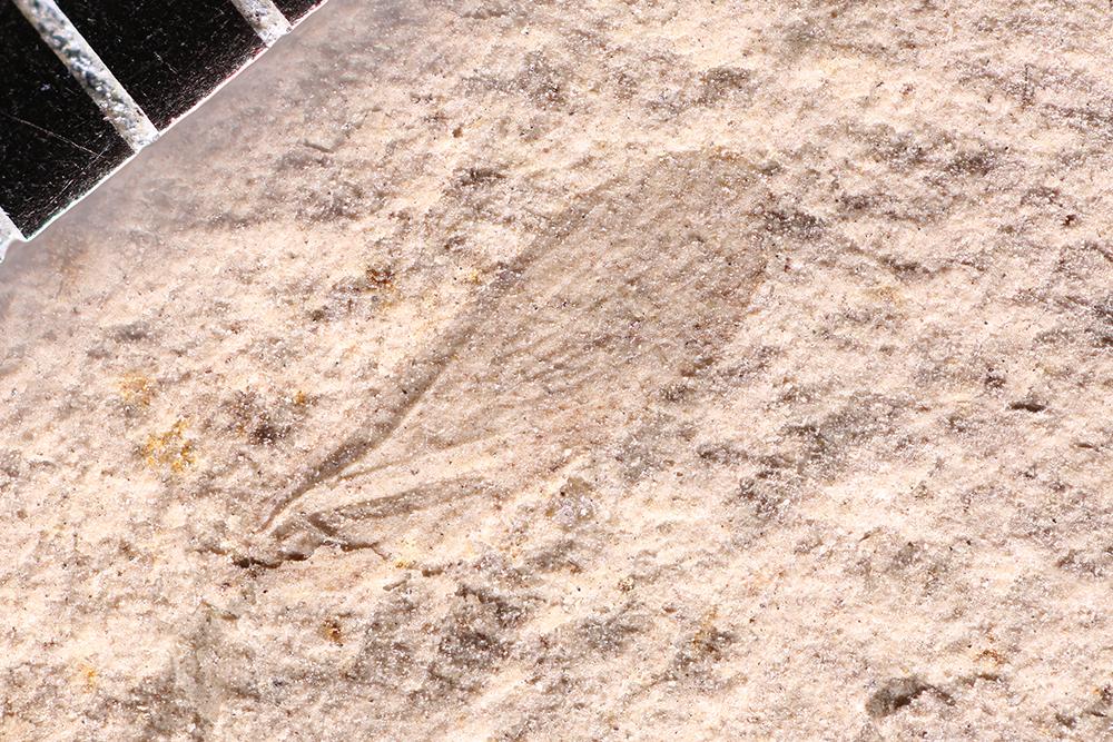 http://mczbase.mcz.harvard.edu/specimen_images/entomology/paleo/large/PALE-12283_Miomoptera.jpg