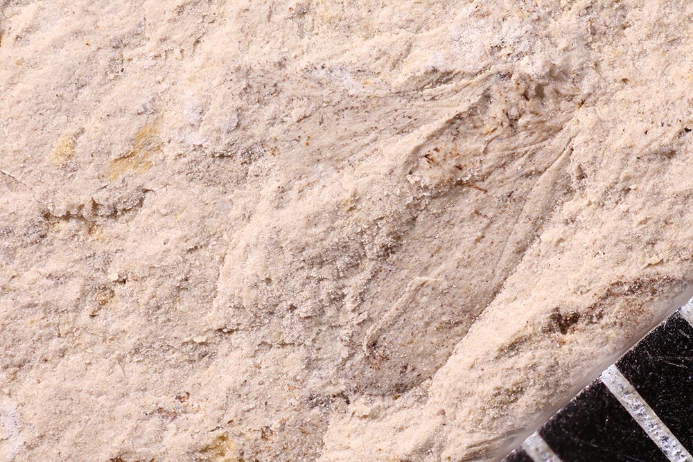 http://mczbase.mcz.harvard.edu/specimen_images/entomology/paleo/large/PALE-12300_Dichentomum_tinctum.jpg