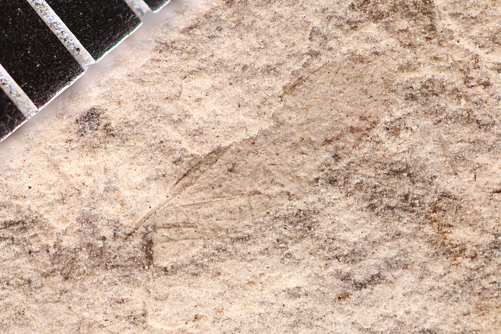 http://mczbase.mcz.harvard.edu/specimen_images/entomology/paleo/large/PALE-12327_Dichentomum_tinctum.jpg