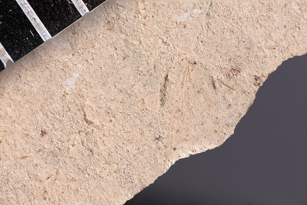 http://mczbase.mcz.harvard.edu/specimen_images/entomology/paleo/large/PALE-12336_Dichentomum_tinctum.jpg