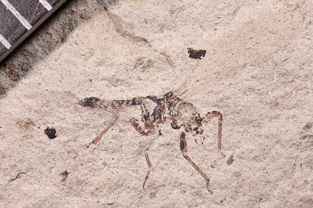 http://mczbase.mcz.harvard.edu/specimen_images/entomology/paleo/large/PALE-12442_Dichentomum_tinctum.jpg