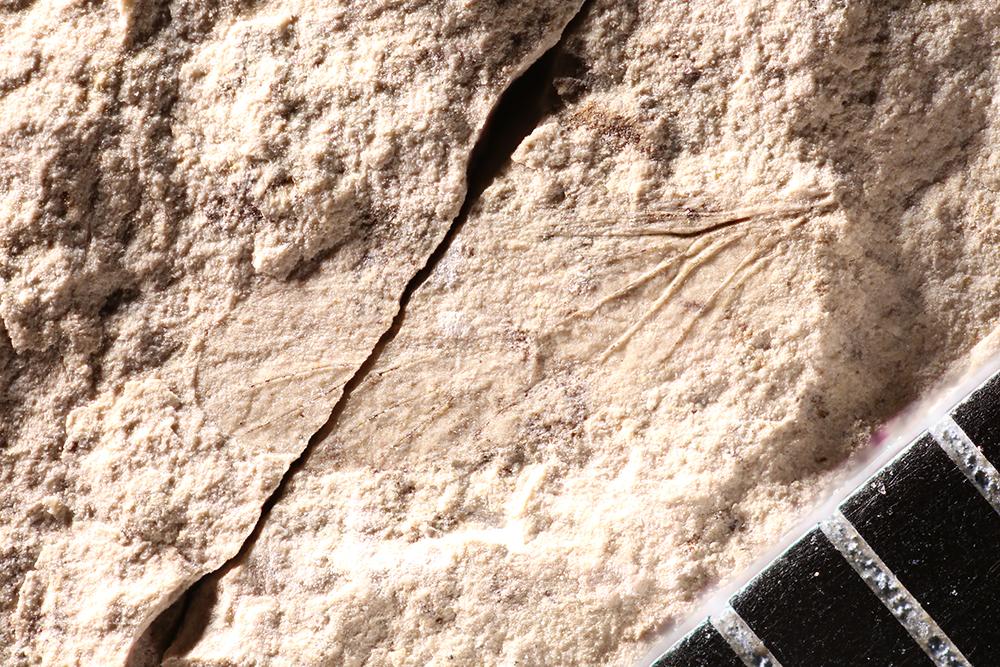 http://mczbase.mcz.harvard.edu/specimen_images/entomology/paleo/large/PALE-12454_Psocoptera.jpg