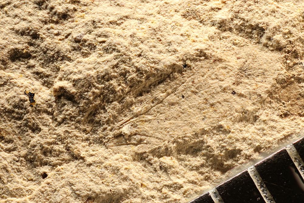 http://mczbase.mcz.harvard.edu/specimen_images/entomology/paleo/large/PALE-12508_Dichentomum_tinctum.jpg
