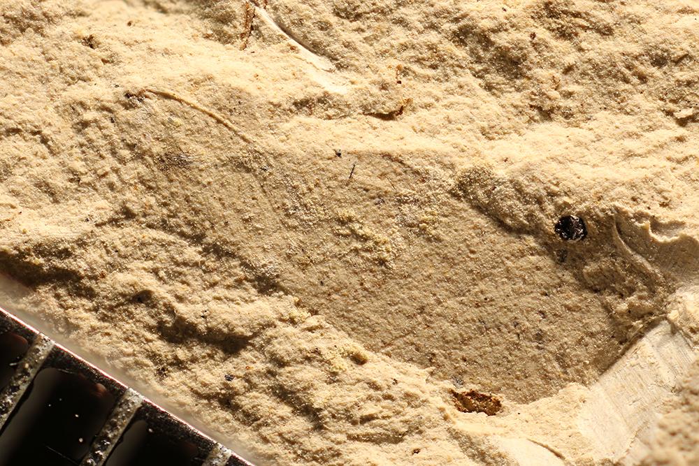 http://mczbase.mcz.harvard.edu/specimen_images/entomology/paleo/large/PALE-12702_Hemiptera.jpg
