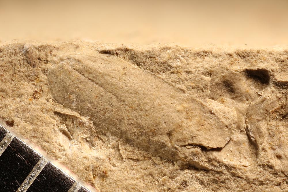 http://mczbase.mcz.harvard.edu/specimen_images/entomology/paleo/large/PALE-12726b_Acosmelytron_rectum.jpg