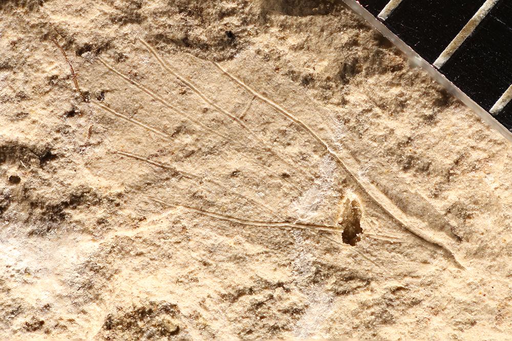 http://mczbase.mcz.harvard.edu/specimen_images/entomology/paleo/large/PALE-12758_Lemmatophora_typa.jpg