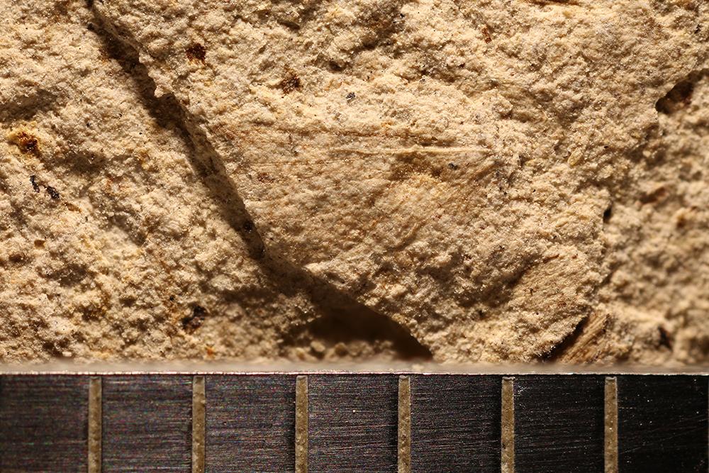 http://mczbase.mcz.harvard.edu/specimen_images/entomology/paleo/large/PALE-12889_Lisca_minuta.jpg