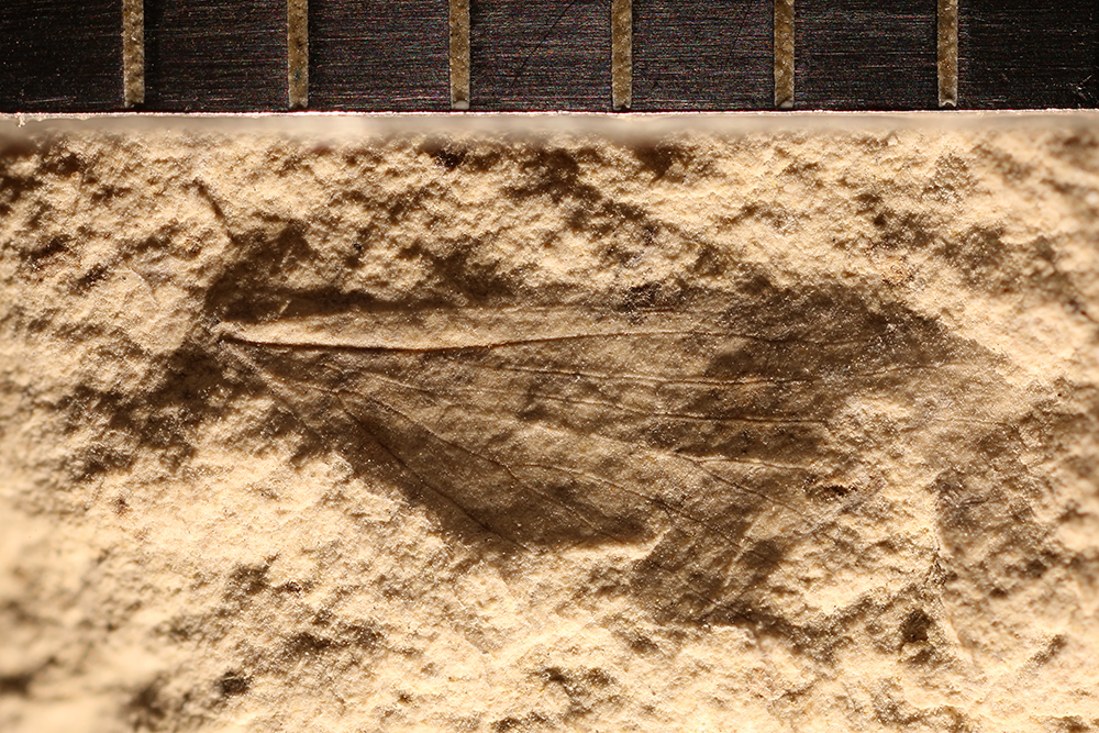http://mczbase.mcz.harvard.edu/specimen_images/entomology/paleo/large/PALE-12894_Lisca_minuta.jpg