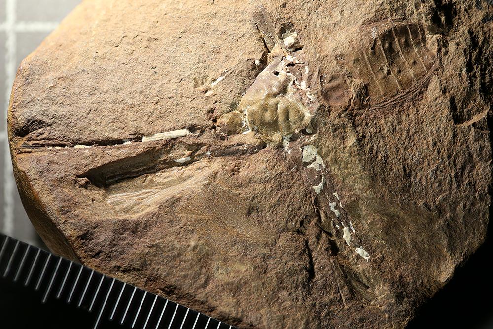 http://mczbase.mcz.harvard.edu/specimen_images/entomology/paleo/large/PALE-13283a_Sorellophrynus_carbonarius_dry.jpg
