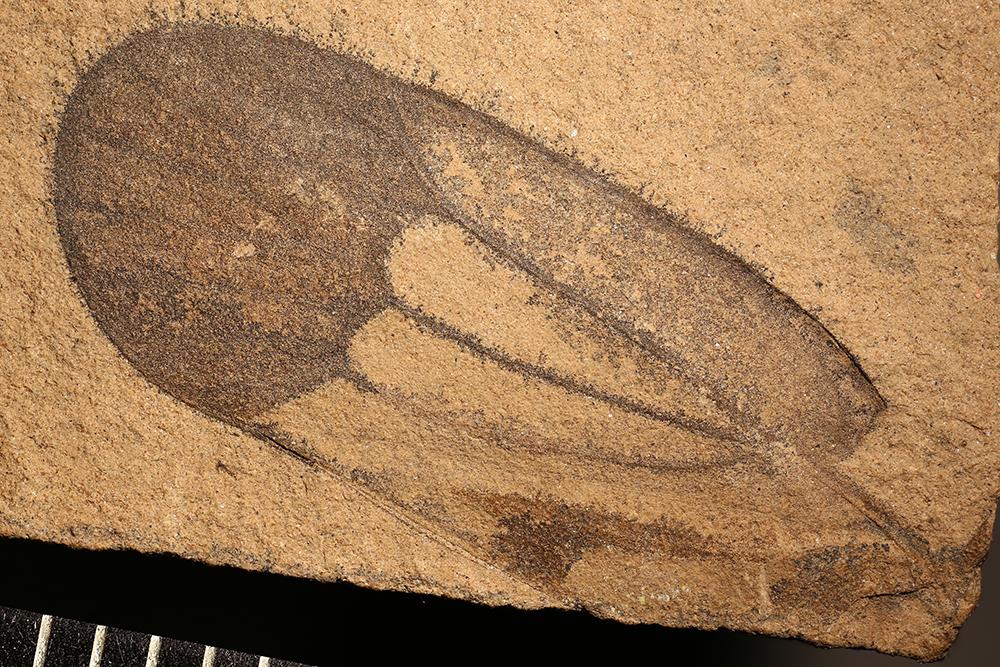 http://mczbase.mcz.harvard.edu/specimen_images/entomology/paleo/large/PALE-13314_Sojanoneura_edemskii_1.jpg