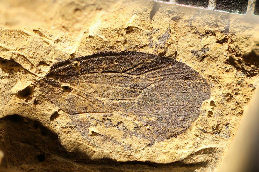 http://mczbase.mcz.harvard.edu/specimen_images/entomology/paleo/large/PALE-13315_Cicadocoris_kuliki.jpg