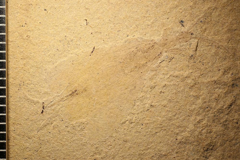 http://mczbase.mcz.harvard.edu/specimen_images/entomology/paleo/large/PALE-13316_Tillyardembia_brevipes_2_(cp_13317).jpg