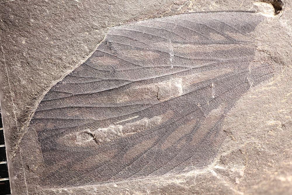 http://mczbase.mcz.harvard.edu/specimen_images/entomology/paleo/large/PALE-13338_Spiloblattinidae.jpg