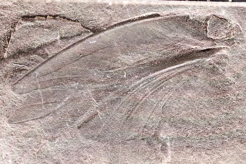 http://mczbase.mcz.harvard.edu/specimen_images/entomology/paleo/large/PALE-13343_Eoblattidae_qm.jpg