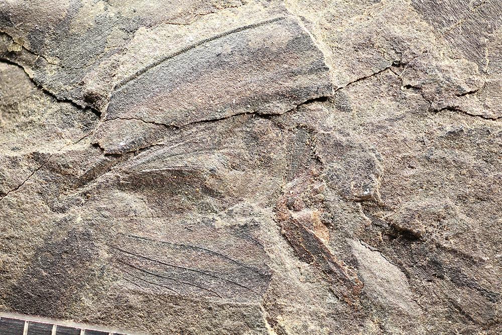 http://mczbase.mcz.harvard.edu/specimen_images/entomology/paleo/large/PALE-13349_Spiloblattinidae.jpg