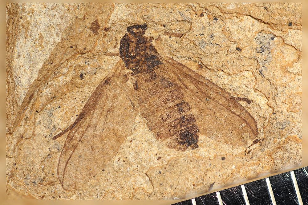 http://mczbase.mcz.harvard.edu/specimen_images/entomology/paleo/large/PALE-14019_Plecia_stygia.jpg