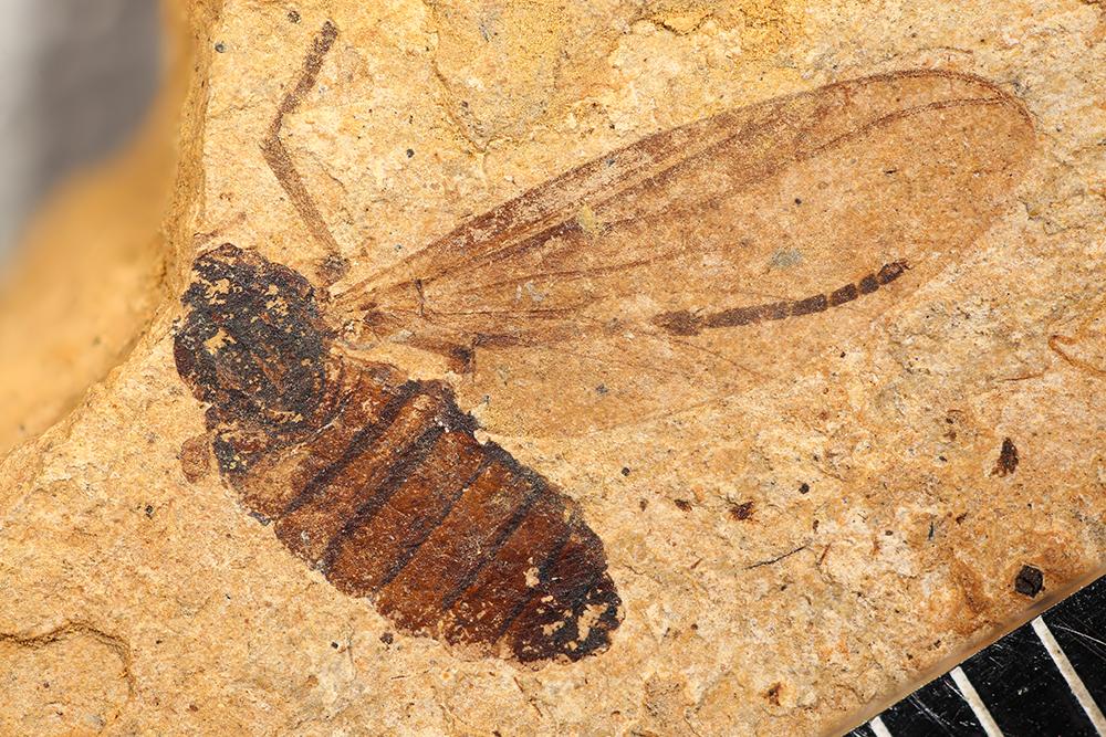http://mczbase.mcz.harvard.edu/specimen_images/entomology/paleo/large/PALE-14020_Plecia_pinguis_1.jpg