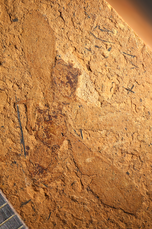 http://mczbase.mcz.harvard.edu/specimen_images/entomology/paleo/large/PALE-14021_Plecia_luteola_1.jpg