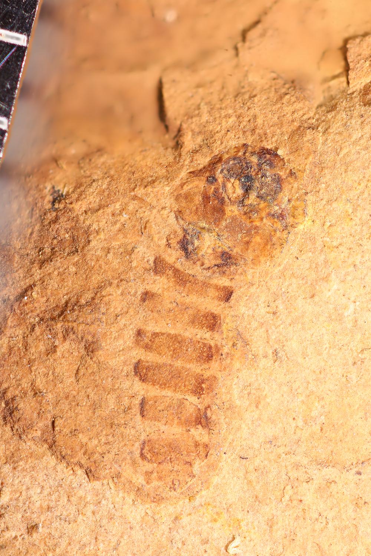 http://mczbase.mcz.harvard.edu/specimen_images/entomology/paleo/large/PALE-14023_Chironomidae_det_pupa.jpg
