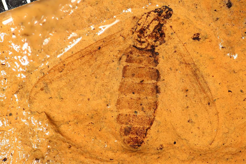 http://mczbase.mcz.harvard.edu/specimen_images/entomology/paleo/large/PALE-14026_Plecia_hypogaea.jpg