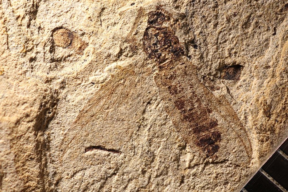 http://mczbase.mcz.harvard.edu/specimen_images/entomology/paleo/large/PALE-14027_Plecia_grandaeva.jpg