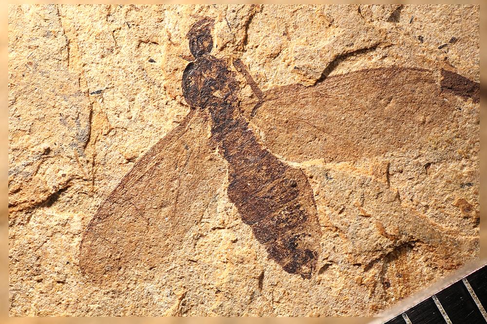 http://mczbase.mcz.harvard.edu/specimen_images/entomology/paleo/large/PALE-14029_Plecia_luctuosa_1.jpg