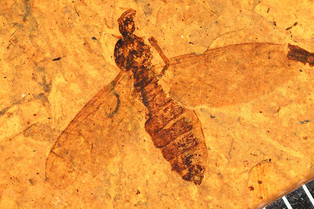 http://mczbase.mcz.harvard.edu/specimen_images/entomology/paleo/large/PALE-14029_Plecia_luctuosa_2.jpg