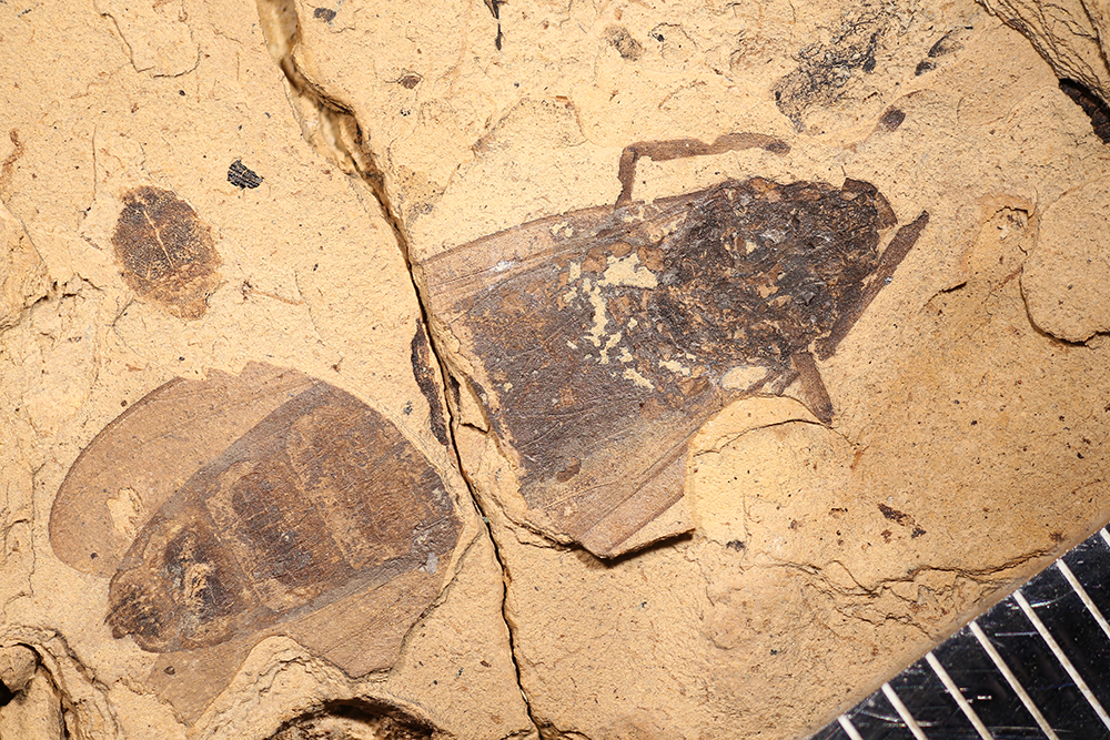 http://mczbase.mcz.harvard.edu/specimen_images/entomology/paleo/large/PALE-14031_Plecia_collossea.jpg