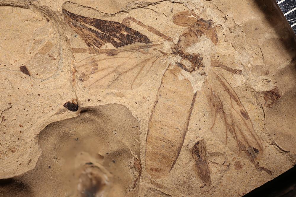 http://mczbase.mcz.harvard.edu/specimen_images/entomology/paleo/large/PALE-14035_Bibio_pannosus.jpg