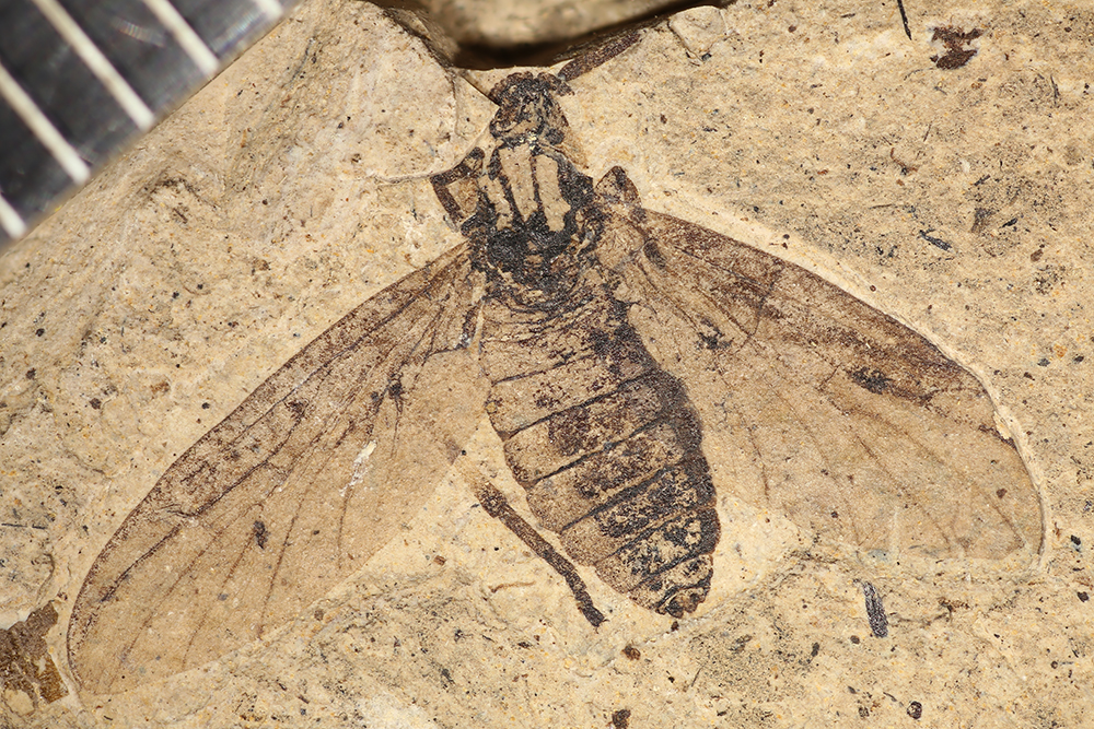 http://mczbase.mcz.harvard.edu/specimen_images/entomology/paleo/large/PALE-14036_Plecia_grossa_1.jpg