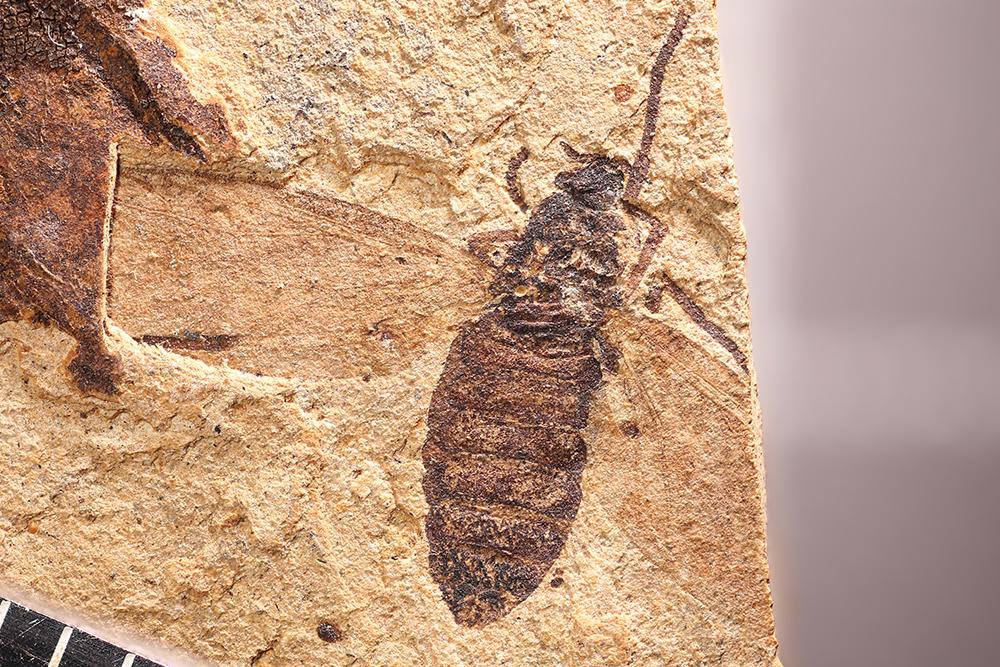 http://mczbase.mcz.harvard.edu/specimen_images/entomology/paleo/large/PALE-14041_Plecia_hypogaea_1.jpg