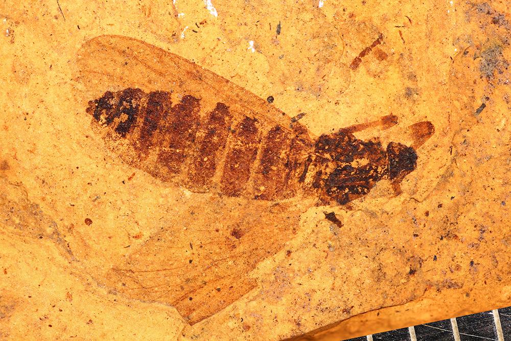 http://mczbase.mcz.harvard.edu/specimen_images/entomology/paleo/large/PALE-14049_Plecia_macrocephala.jpg