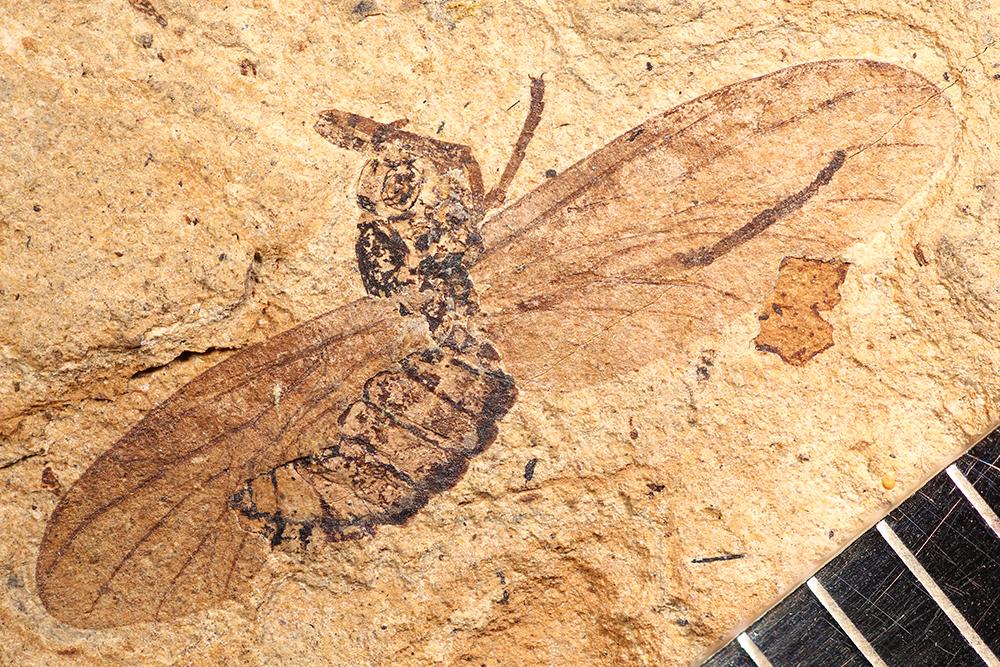 http://mczbase.mcz.harvard.edu/specimen_images/entomology/paleo/large/PALE-14051_Plecia_exposita_2.jpg
