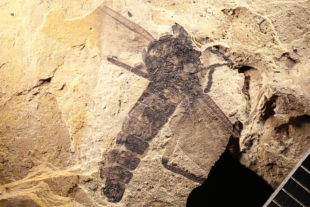 http://mczbase.mcz.harvard.edu/specimen_images/entomology/paleo/large/PALE-14053b_Plecia_abava.jpg