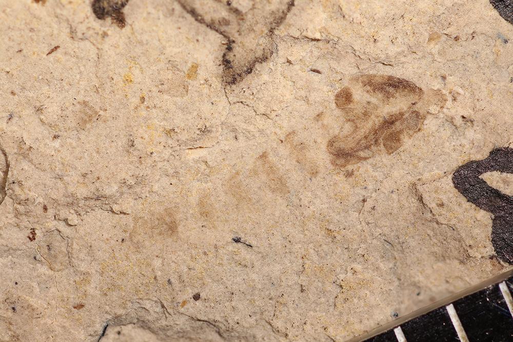 http://mczbase.mcz.harvard.edu/specimen_images/entomology/paleo/large/PALE-14054a_Chironomus_antiquus_pupa.jpg