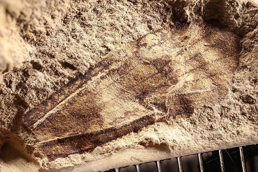 http://mczbase.mcz.harvard.edu/specimen_images/entomology/paleo/large/PALE-14061_Trichoptera.jpg