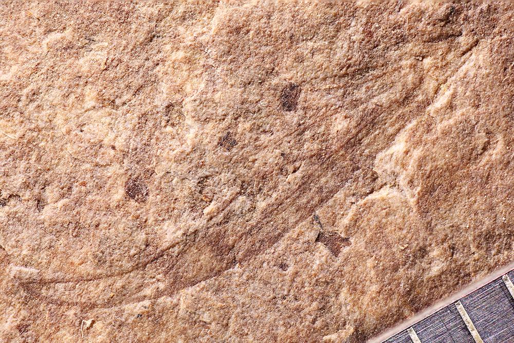 http://mczbase.mcz.harvard.edu/specimen_images/entomology/paleo/large/PALE-14064_Plecia_similkameena_2.jpg