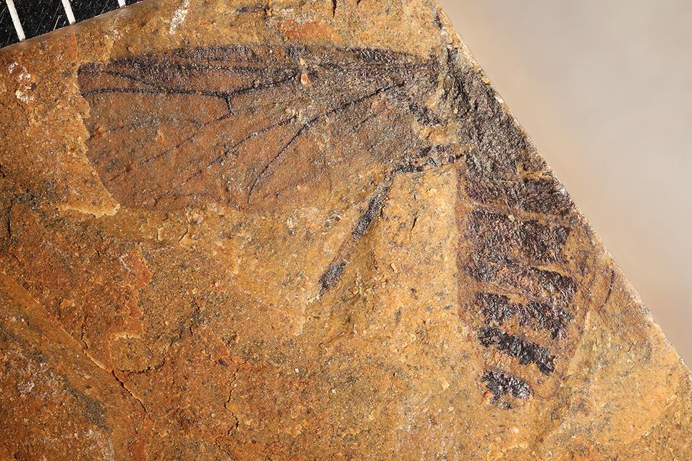 http://mczbase.mcz.harvard.edu/specimen_images/entomology/paleo/large/PALE-14086_Bibionidae.jpg