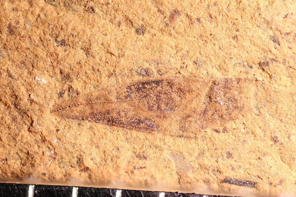 http://mczbase.mcz.harvard.edu/specimen_images/entomology/paleo/large/PALE-14087_Heteroptera.jpg