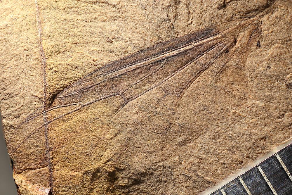 http://mczbase.mcz.harvard.edu/specimen_images/entomology/paleo/large/PALE-14096_Bibionidae.jpg