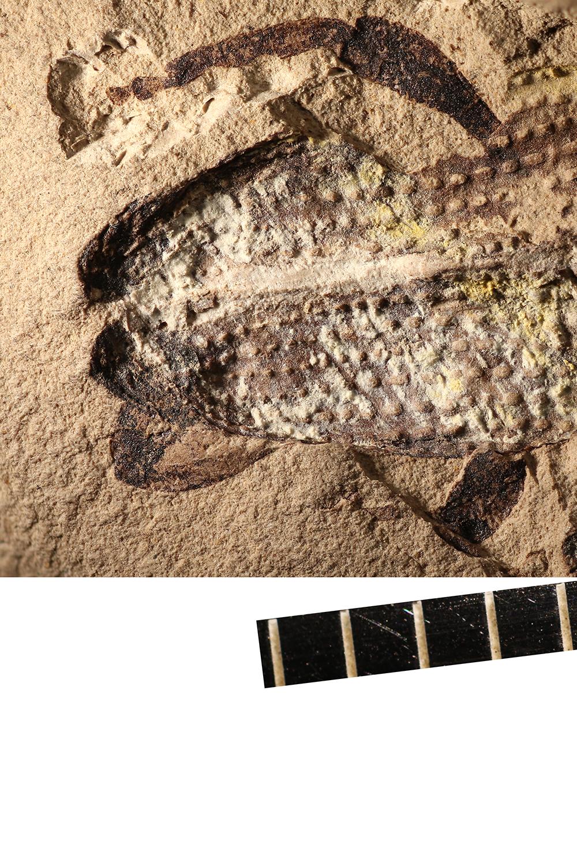 http://mczbase.mcz.harvard.edu/specimen_images/entomology/paleo/large/PALE-14115_Coleoptera.jpg