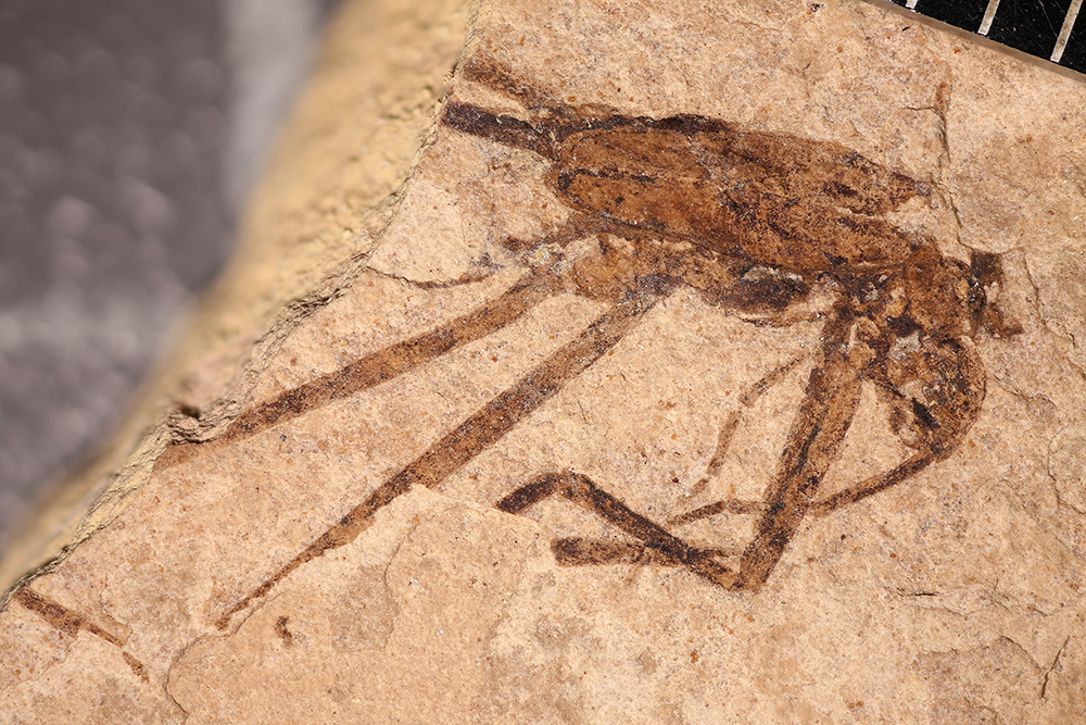 http://mczbase.mcz.harvard.edu/specimen_images/entomology/paleo/large/PALE-14151_Gerridae.jpg