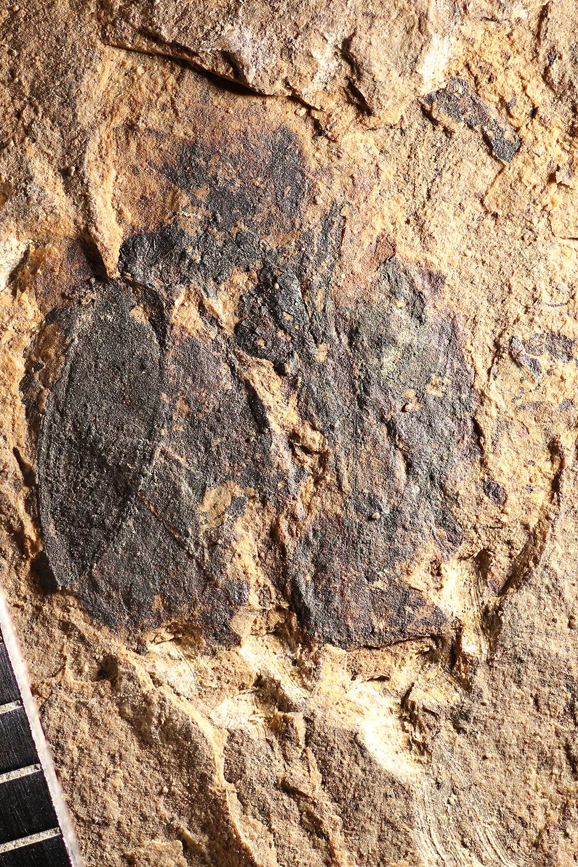 http://mczbase.mcz.harvard.edu/specimen_images/entomology/paleo/large/PALE-14156_Coleoptera.jpg