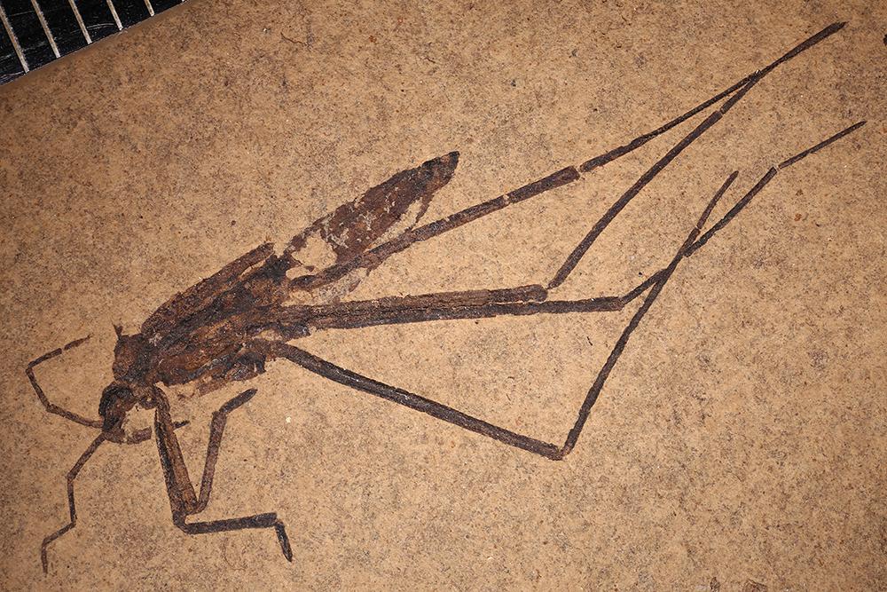 http://mczbase.mcz.harvard.edu/specimen_images/entomology/paleo/large/PALE-14158a_Gerridae.jpg