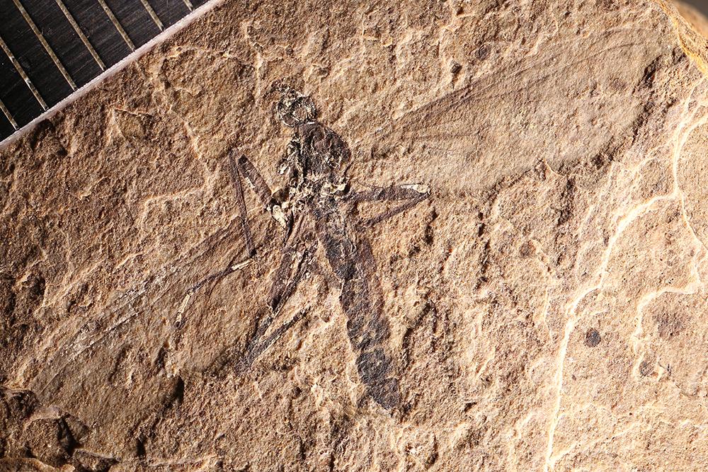 http://mczbase.mcz.harvard.edu/specimen_images/entomology/paleo/large/PALE-14161_Bibionidae_1.jpg
