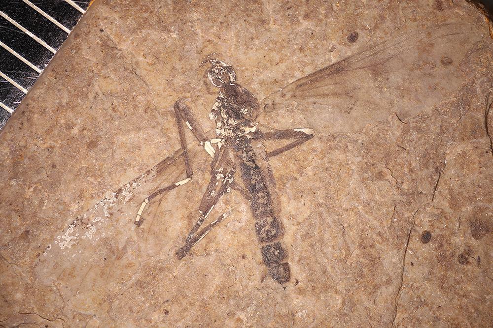 http://mczbase.mcz.harvard.edu/specimen_images/entomology/paleo/large/PALE-14161_Bibionidae_2.jpg