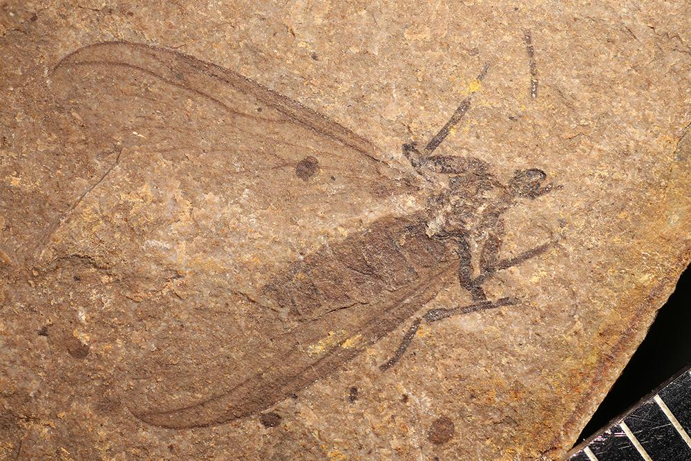 http://mczbase.mcz.harvard.edu/specimen_images/entomology/paleo/large/PALE-14163_Bibionidae_1.jpg