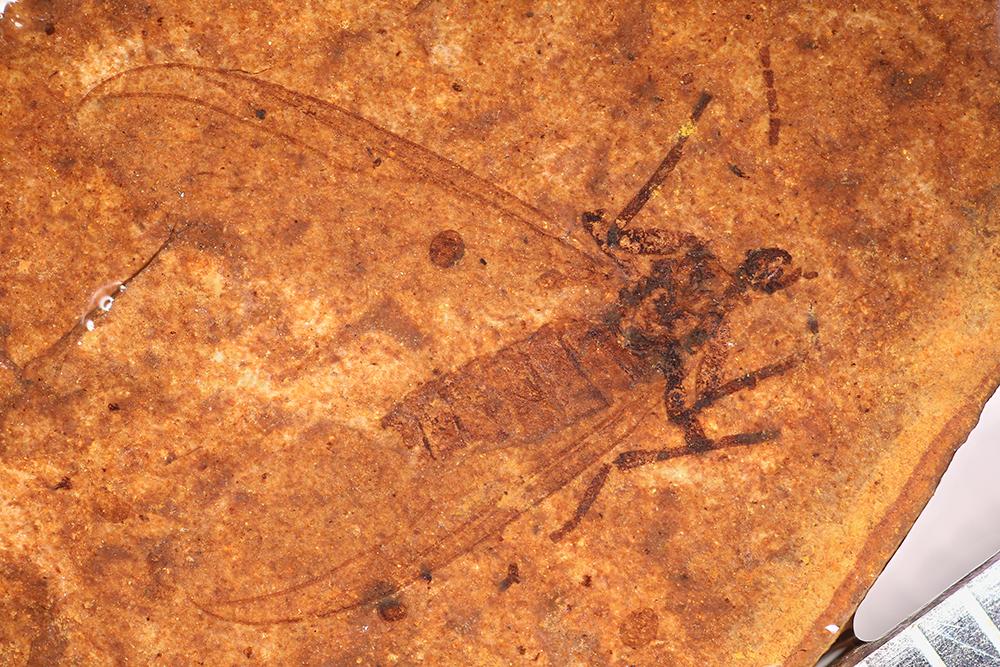 http://mczbase.mcz.harvard.edu/specimen_images/entomology/paleo/large/PALE-14163_Bibionidae_2.jpg
